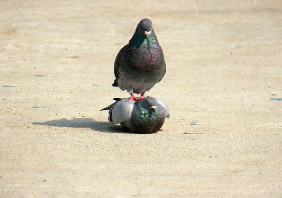 Pigeon hierarchy pic from Animals, Relationships